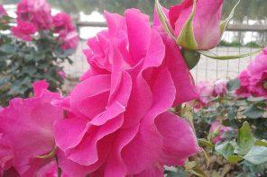 Róża. Olejek różany.
