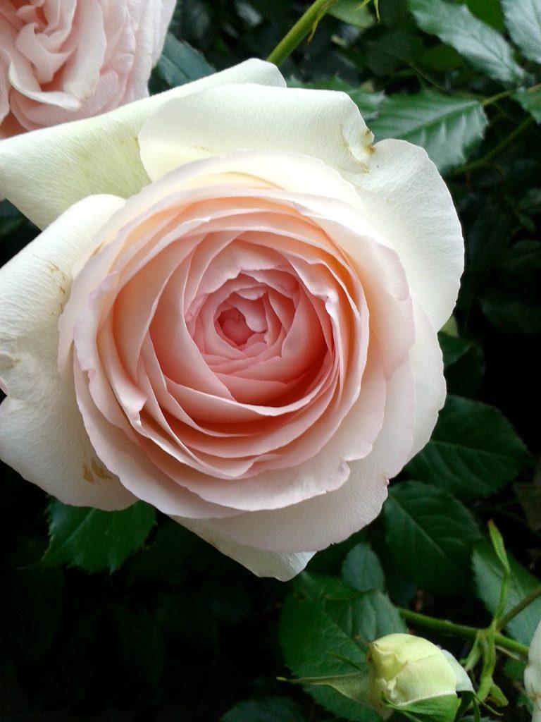 olejek różany. Zastosowanie olejku różanego: do masażu, do kąpieli, jako dodatek do ciast.